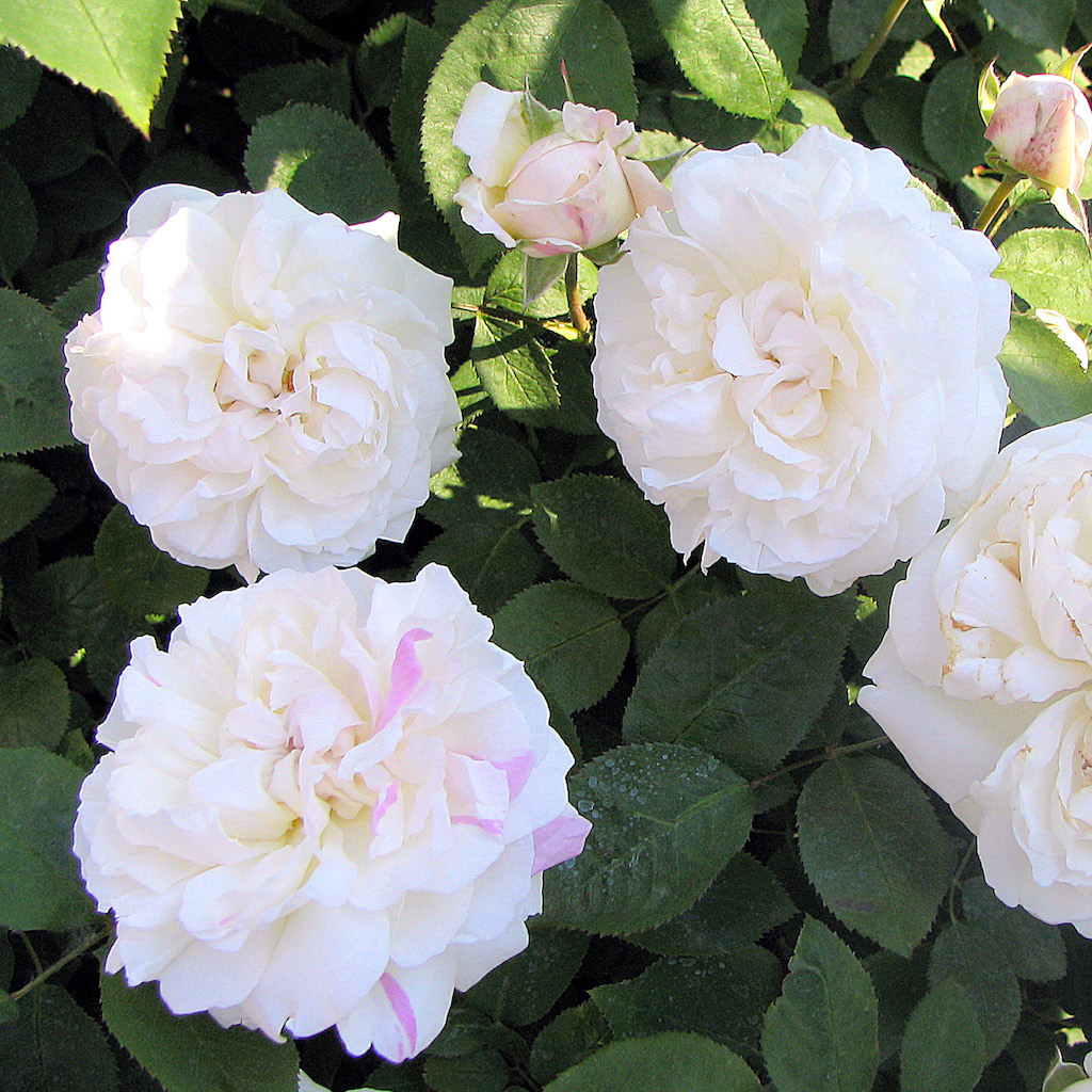 The 6 most beautiful roses in the world sara verdier this repeat bloom is characterized by its crisp white petals its a medium sized rose that opens just over 2 from edge to edge containing over 80 petals izmirmasajfo